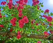roses-863640_640